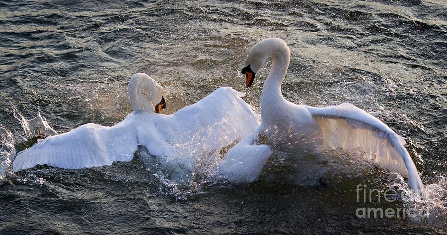 Swan Nuptial Dance on the Rhine River, Germany