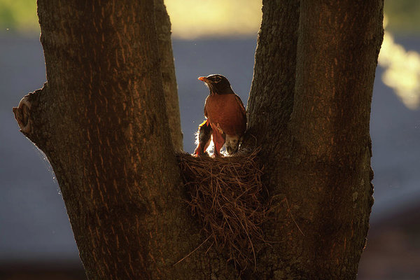 Robin mother and nest at spring time, in Ontario, Canada