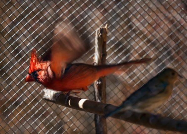 Cardinal bird pet in cage