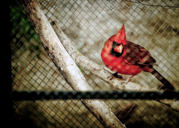 Cardinal bird pet in cage