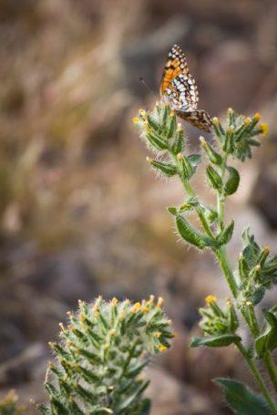 Desert spring butterfly