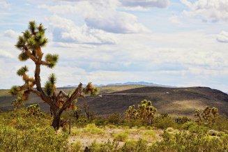 joshua-trees-in-arizona-tatiana-travelways