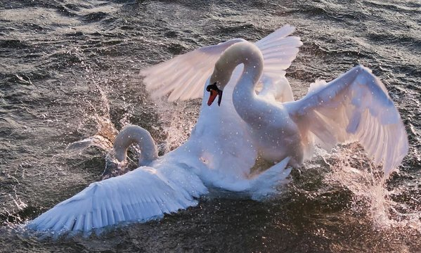 Two swans in a nuptial dance on Rhine River, Germany