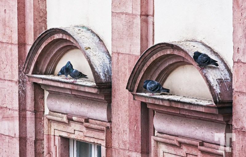 Pigeons of Heidelberg hiding under window arches from the cold February rain