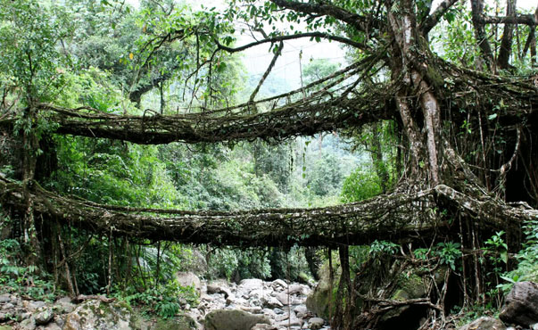 living root bridges, The Root Bridges of Cherrapunji , Meghalaya Cherrapunji Living Root Bridges, Living Root Bridges, cheap flights to delhi, cheap flights to mumbai, cheap flights to aagra, things to do in india, manali things to do, manali travel guide,cheap flights to manali, direct flights to manali,last minute flights to manali, manali tour packages, tour packages, holiday packages, tour packages india, flights to india, flights to delhi