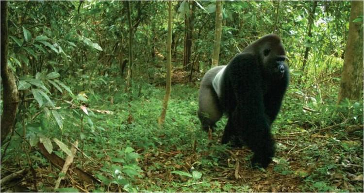 Crossriver Gorilla