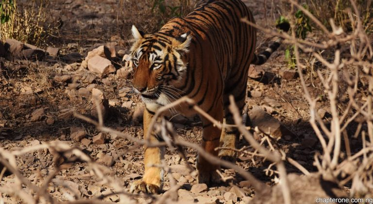 In search of India's Bengal Tigers