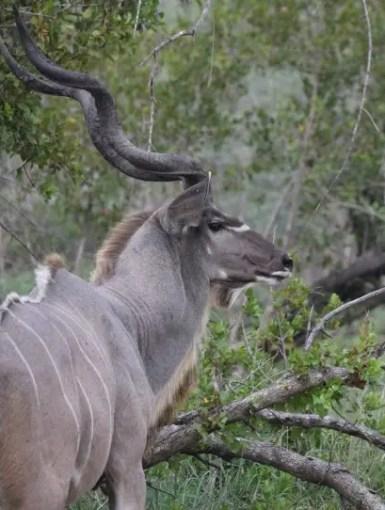 Kudu-Kruger