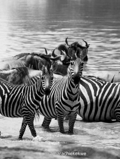 Zebras at Tarangire National Park