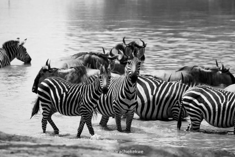 Zebras at Tarangire National Park