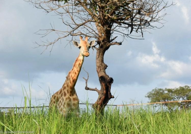Giraffe_unilorin zoo