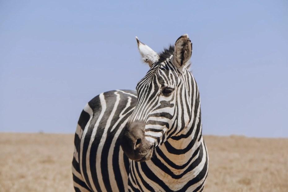 Zebra Ol Pejeta Conservancy