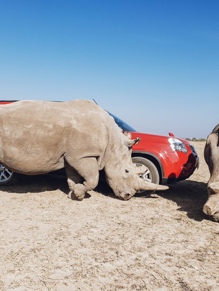 The Last Two Northern White Rhinos on Earth