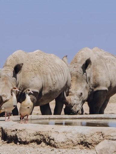 Rhinos at Ol Pejeta