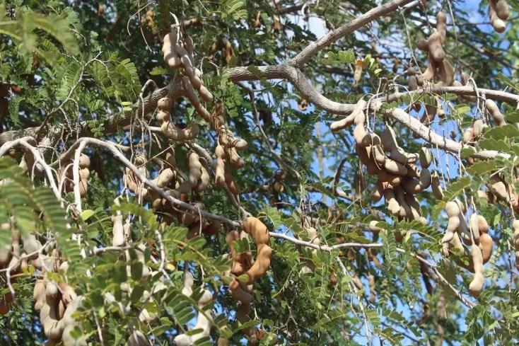 Copac de tamarind, Trinidad
