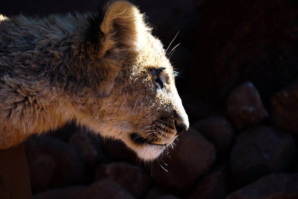 Zuid-Afrikaanse predatoren: Baby leeuw in Ukutula