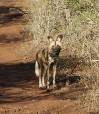 Wilde honden, Zuid-Afrika, Wildlife Act
