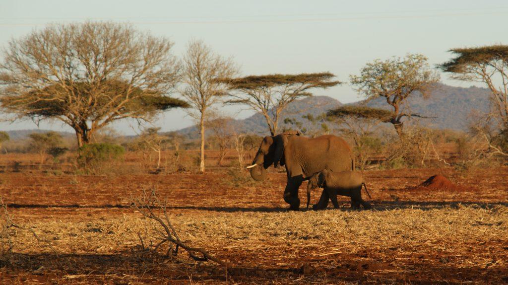 De Afrikaanse olifant, Zuid-Afrika