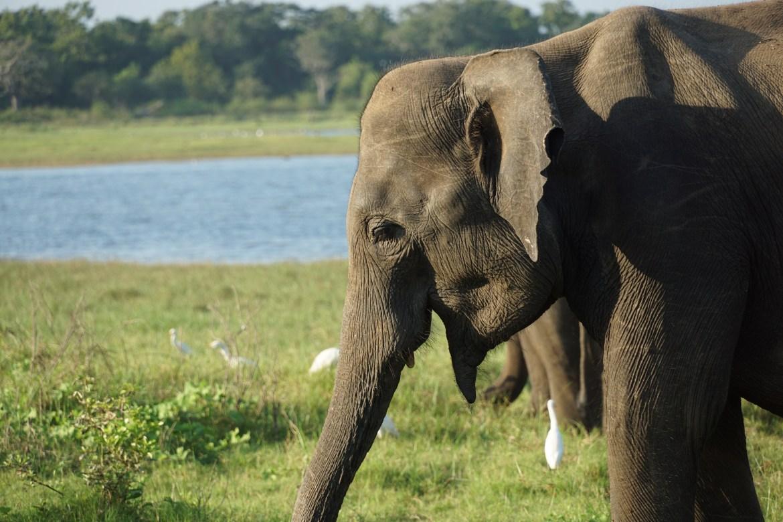 Minneriya, de olifanten van Sri Lanka