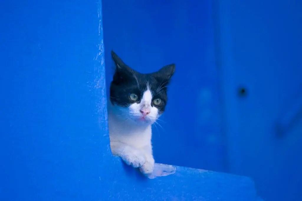 un gatto in posa a Chefchaouen