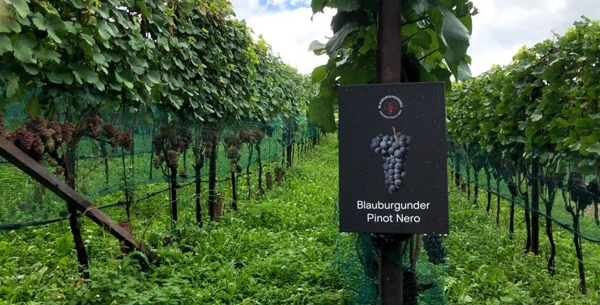 Vigne Pinot Nero
