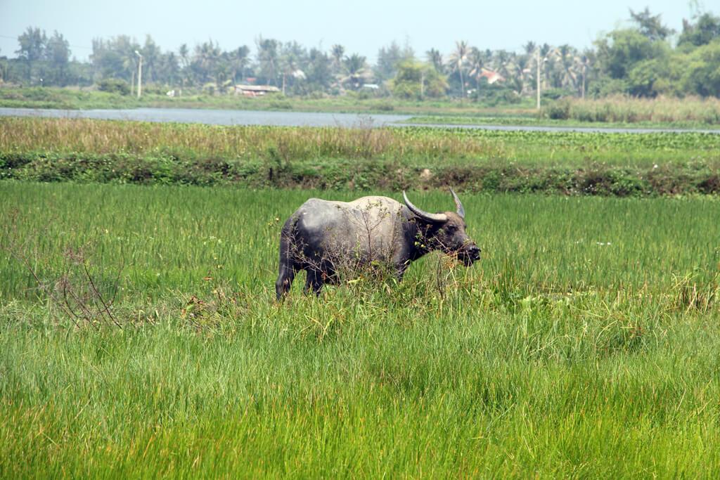 Vietnam Water Buffalo