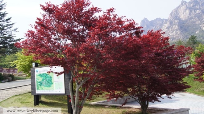 These pretty trees are found around the entrance to the park. The leaves are smaller than their Canadian cousins'.