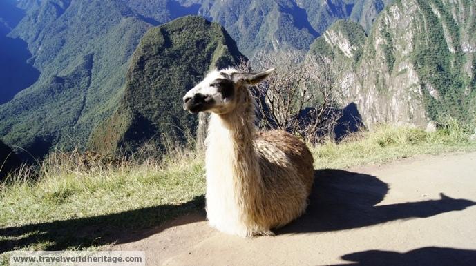 Lily the friendly llama.