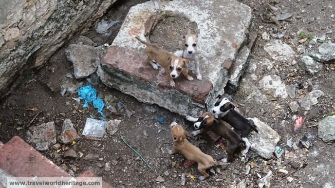 Puppies in Myanmar