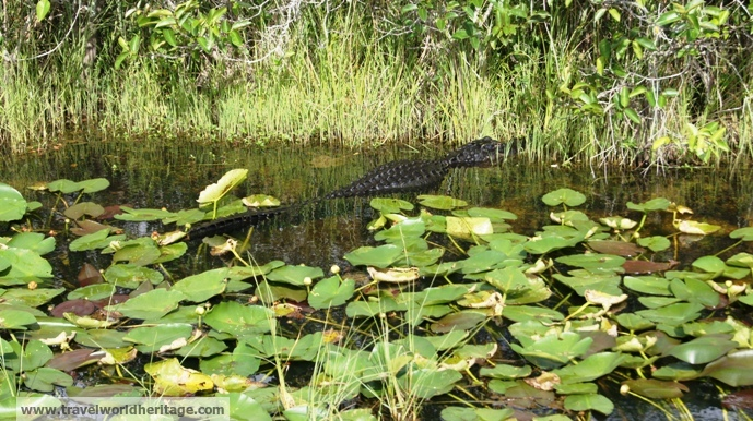 Another alligator. This one is jumping trying to catch a bird.
