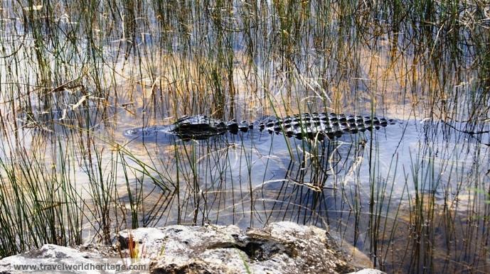 Small 4 foot gator