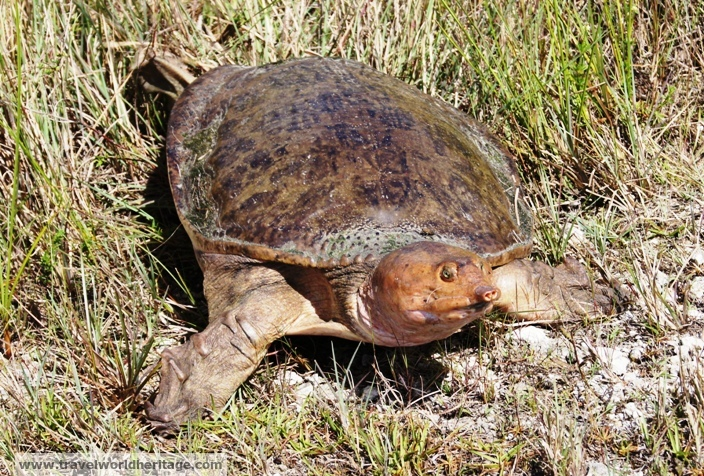 An Everglades Softshell Turtle