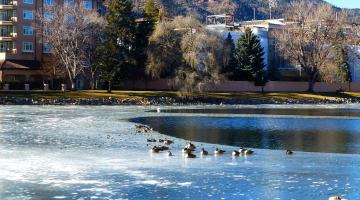 Ducks out for a swim on Broadmoor lake