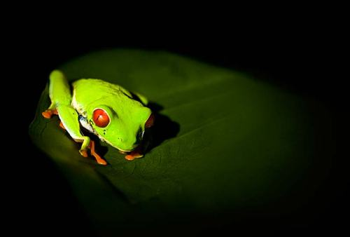 Red eye tree frog in Osa Peninsula