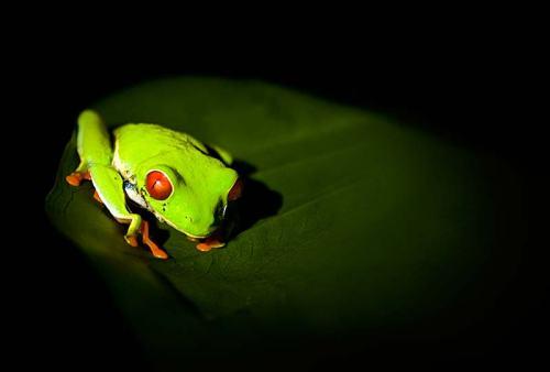 Red eye tree frog in Osa Peninsula