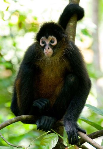 Spider monkey in Osa Peninsula