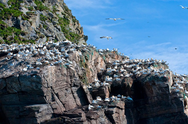 North Cape: Colony of gannets on rocky Stappen Islands. Photo credit: Jennifer Crites