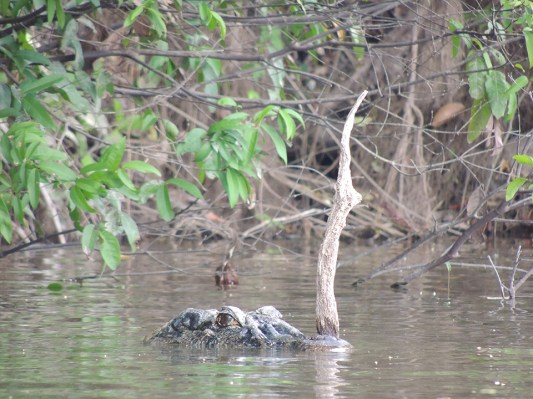 A large crocodile surfaces, feet away from Jeffrey swimming. Photo credit: Jeffrey Lehmann