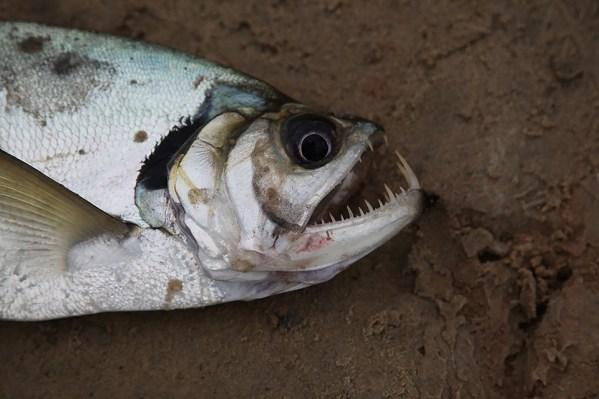 Dog Fish, one of 5,600+ Amazon fish species. Photo credit: Jeffrey Lehmann