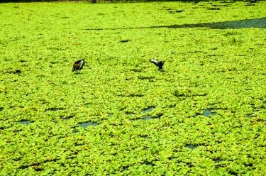 Wild birds on the lagoon