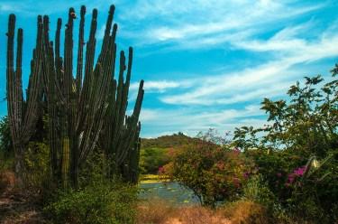 Alamandas-cactus trees and bougainvilleas near the lake