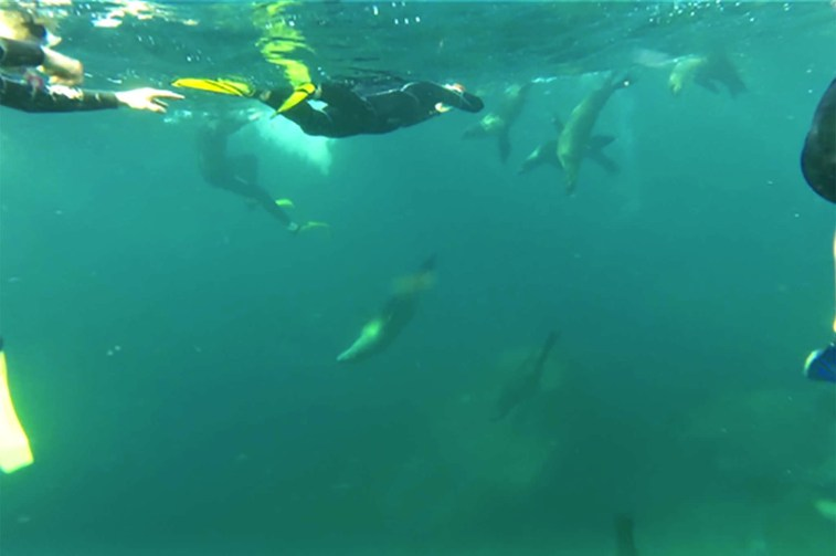 Swimming with a pack of sea lions