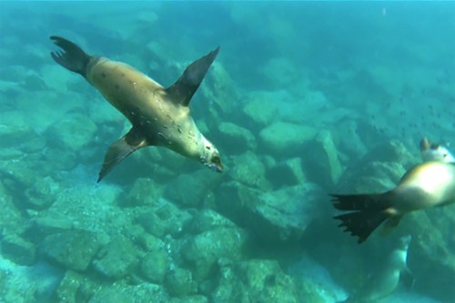 Two sea lions swimming in the Sea of Cortez