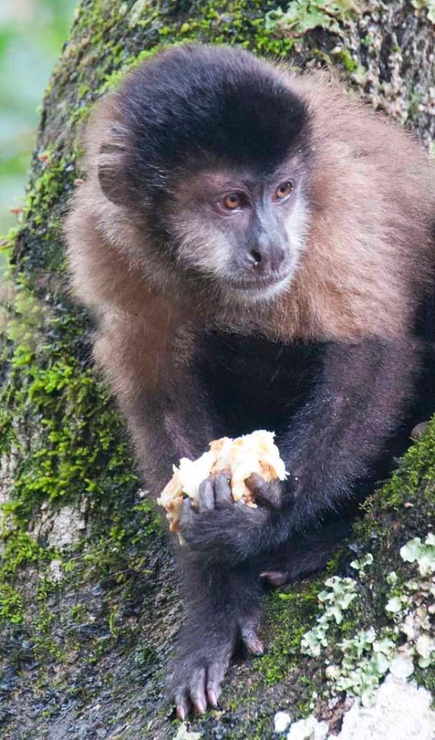 A monkey at Iguazu National Park