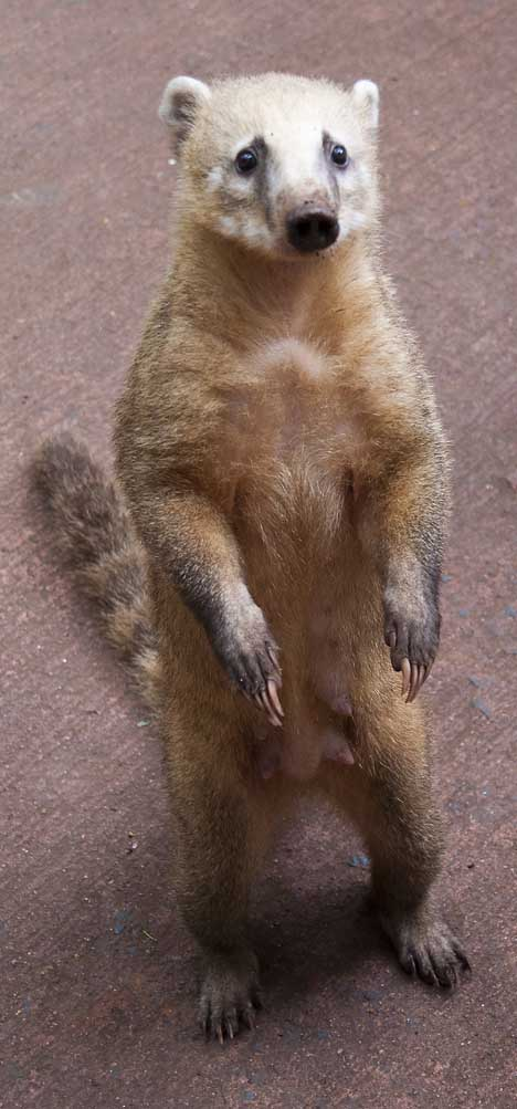 A cute coatimundi at Iguazu Falls