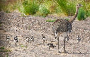 Rhea and chicks along a Patagonia highway