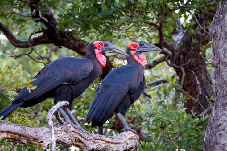 Southern Ground Hornbills (photo by Tom Schwab)