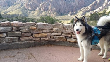 A Husky at the Chisos Mountains Lodge