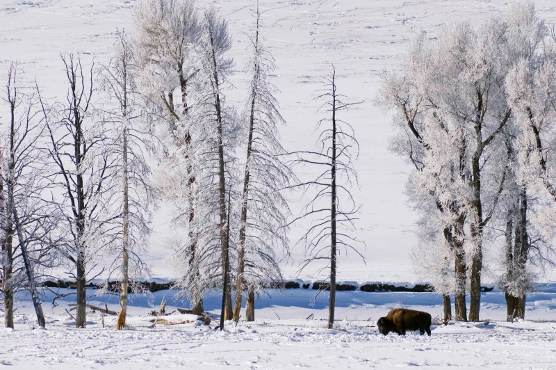 Bison and ice-covered Cottonwood trees in Lamar Valley in winter; Yellowstone National Park, Wyoming.