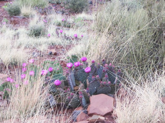 Spring cacti in full bloom